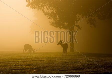 White-tailed Deer On Foggy Morning