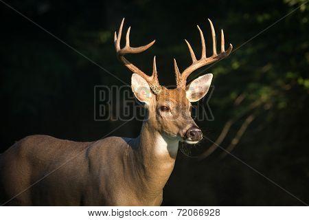 Large Whitetailed Deer Buck