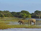 a mother and baby elephant in marshes in yala national park sri lanka poster