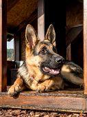 German shepherd resting in its wooden kennel poster