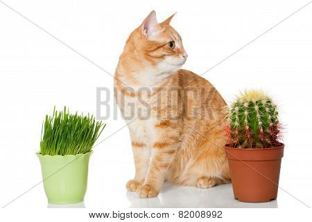 Red Cat, Grass And Cactus.