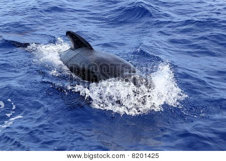 pilot whale free in open sea blue mediterranean swimming poster
