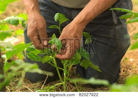 agricultor cuida sus plantas de jitomate