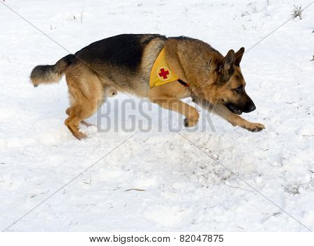Mountain Rescue Service Dog At Bulgarian Red Cross During A Training.