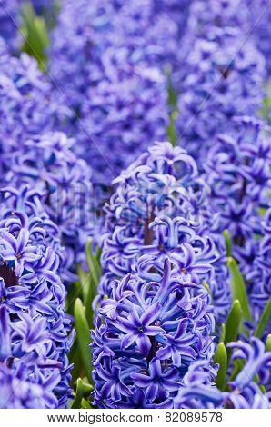 Macro shot of blue hyacinth
