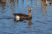 Greater White-fronted Goose (Anser albifrons) swimming in blue water poster