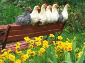 young chickens resting on a garden bench poster