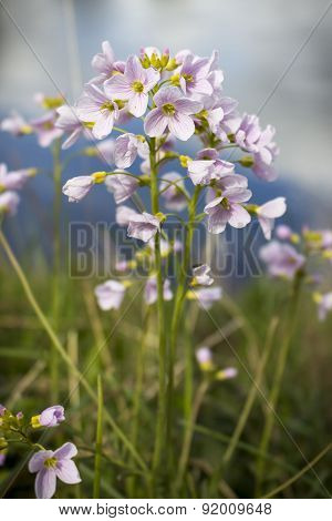 Cuckoo Flower By River