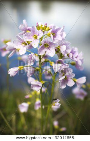 Cuckoo Flower By River Mcu