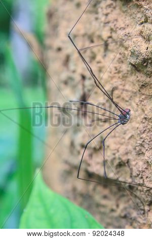 Harvestman Spider Or Daddy Longlegs Close Up On Tree