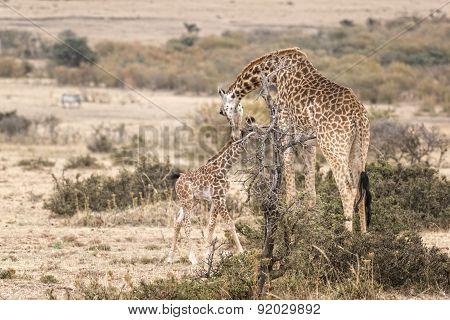 Masai Giraffe With Calf