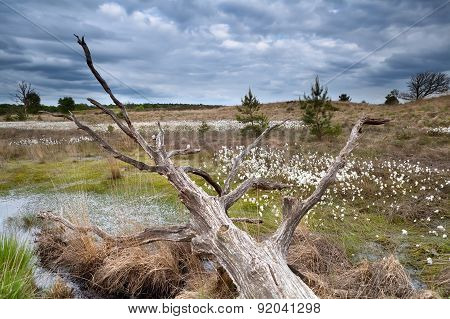 Old Tree Trunk On Swamp With Cottongrass