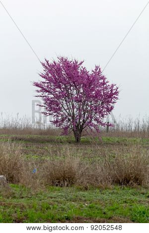 Solitary Redbud tree in full bloom under cloudy sky