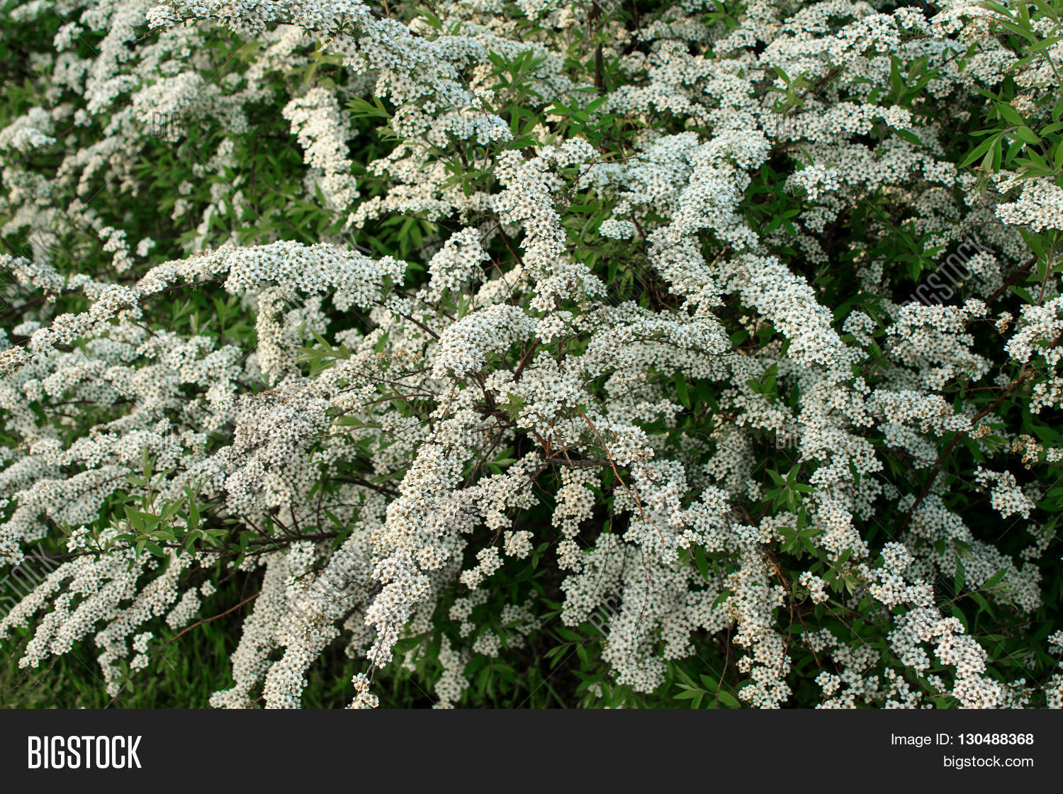 Shrub small white image photo free trial bigstock shrub with small white flowers blooming in spring mightylinksfo