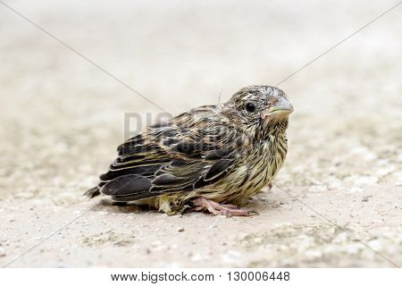 picture of a cute baby bird of house sparrow