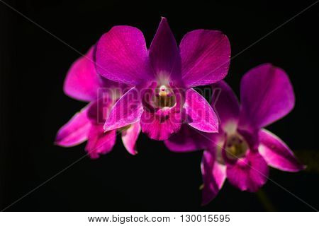 beautiful purple dendrobium orchid flowers bright tone
