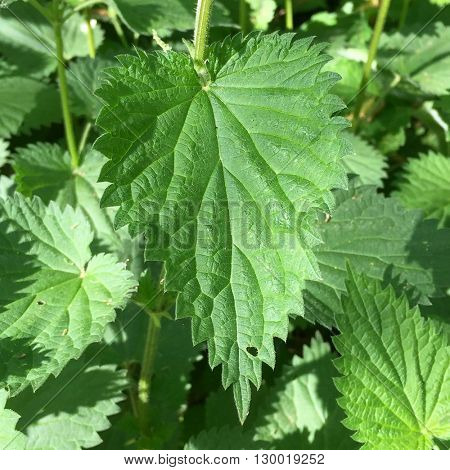 Nettles in the undergrowth