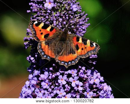 First Small Tortoiseshell to appear on my Buddleia tree in my urban garden in Scotland. Nice and sunny for it to be feeding.