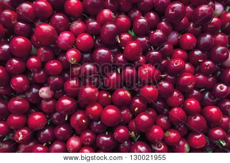 Ripe red foxberries as vitamin-rich food background.
