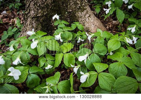 Wild Trillium In The Forest.  Trillium line the forest floor of a Great Lakes coastal habitat. Trillium are the official wildflower of Ontario and Ohio. Certain types are considered endangered. poster