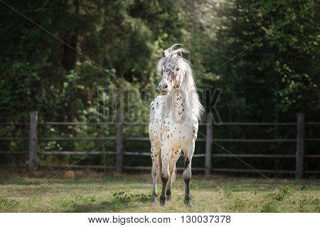 Knabstrup Appaloosa Horse Trotting In A Meadow