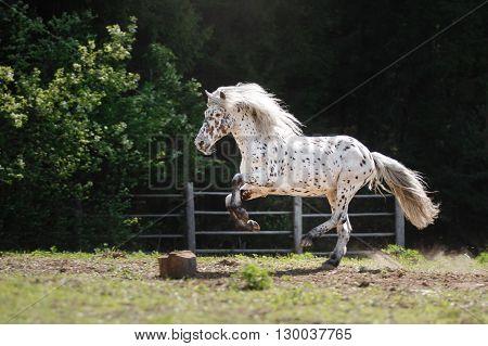 knabstrup appaloosa horse trotting in a meadow appaloosa horse a white horse with black spots running