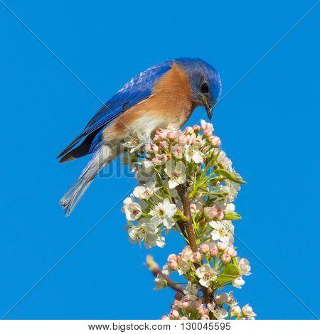 Eastern Bluebird perched on a blooming tree. Taken in Kentucky.