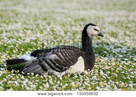 Barnacle goose (Branta leucopsis). Black and white bird in family Anatidae sitting amongst short grass with daisies in flowers