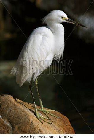 snowy egret waits patiently on a rock in the morning sun poster