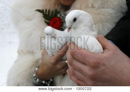 Wedding White Pigeons