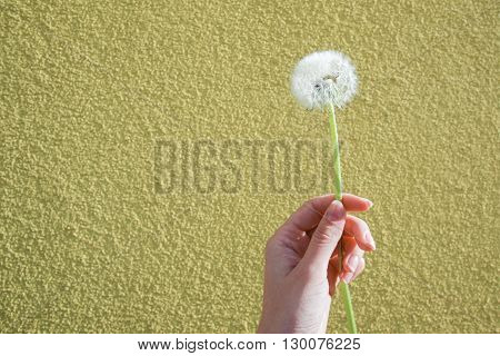 The dandelion blowing seeds in the hand on yellow background