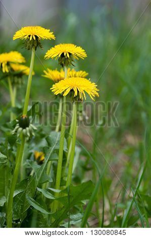 A group of dandelion flowers background copy space