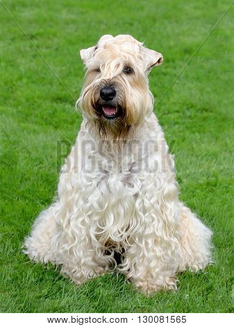 Typical Irish Soft Coated Wheaten Terrier in the spring garden