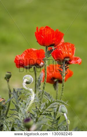 Flowers Red poppies (Papaveraceae) on green meadow background