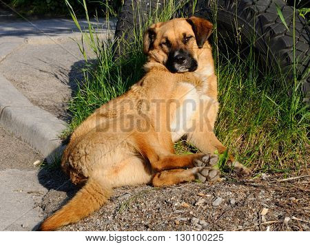 A mongrel dog is reveling in sun beams, Murmansk, Russia