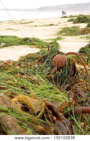 Bull Kelp On The Beach (Bundles of plants washed up on the shore)