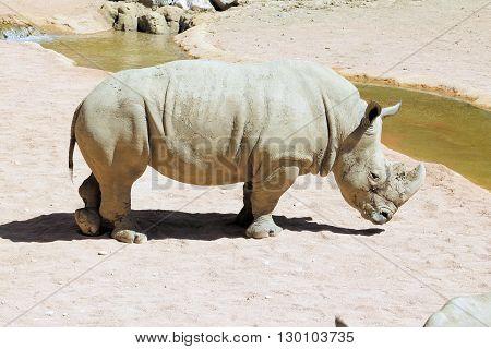 African rhinoceros ( Rhinocerotidae) approaching a small river