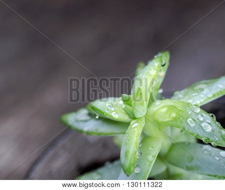A succulent plant on a blurred wooden background. The green plant has water droplets on it.