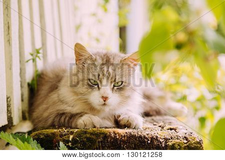 Lazy domestic grey cat lying on the bench and looking at the camera, copy space