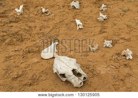 Dinosaur Bones in a makeshift bone sandpit for children at Cape Otway National Park in Australia
