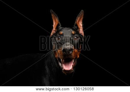 Closeup portrait of Doberman Pinscher Dog Looking in Camera on isolated Black background