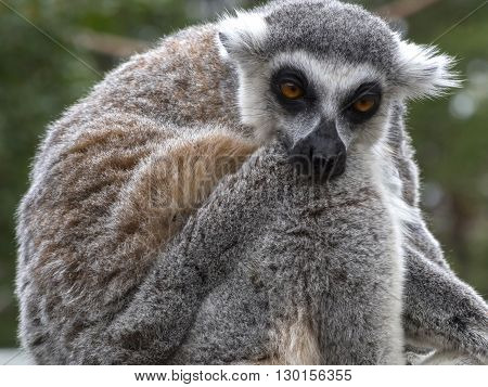Portrait of Lemur Noting with head on paw