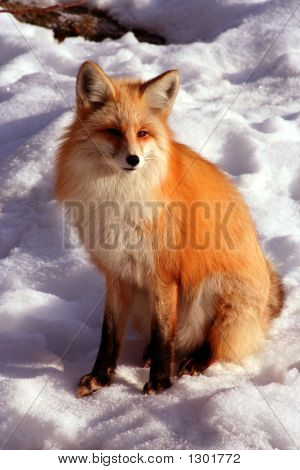 red fox laying in the sun on cold winter day poster