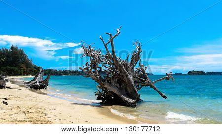 2004 Indian Ocean Tsunami uprooted tree at Andaman Beach, Wandoor, Port Blair, Andaman and Nicobar Islands, India, Asia.