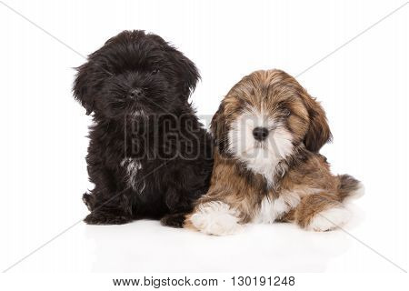 two lhasa apso puppies together on white
