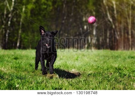 Black dog breed Labrador playing with a ball Park on a Sunny day quickly runs