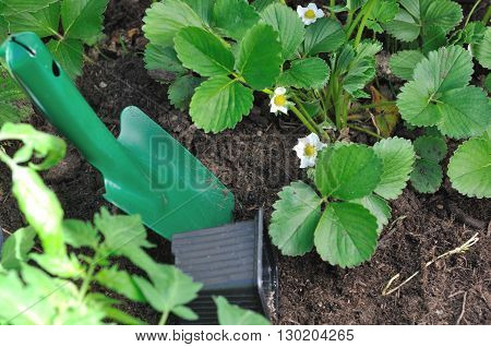 strawberry plants flowering and gardening tool in soil