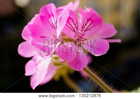 Pelargonium graveolens geranium malvarosa. Pink flower closeup