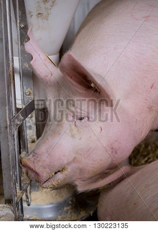 Pig Eating From Hog Feeder