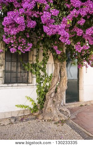 Old colourful bougainvillea with twisted gnarled trunk